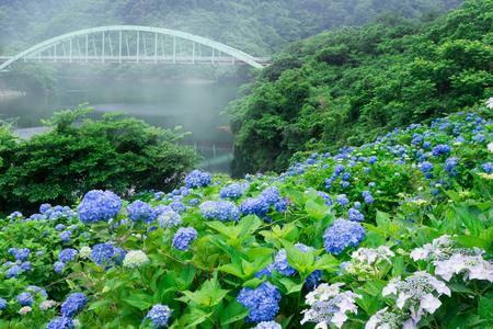 Hydrangea blooming in the dam lake 版權商用圖片