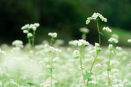 Buckwheat flowers in full bloom