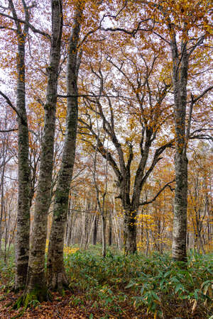 Primitive beech forest dyed in autumn colors