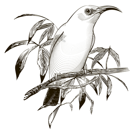 breeder: bird vector. Vector engraving illustration Illustration
