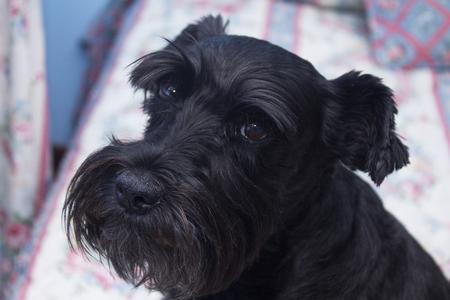 schnauzer dog in bed