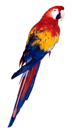 exotic pet: parrot isolated Stock Photo