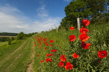 Poppy flowers growing by a country road photo