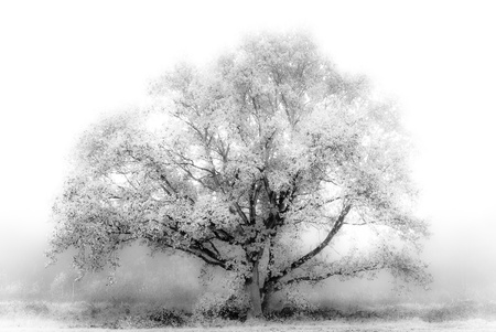 White Tree photo