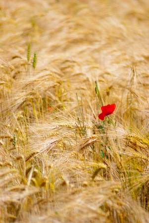 Red poppy in a yellow field photo