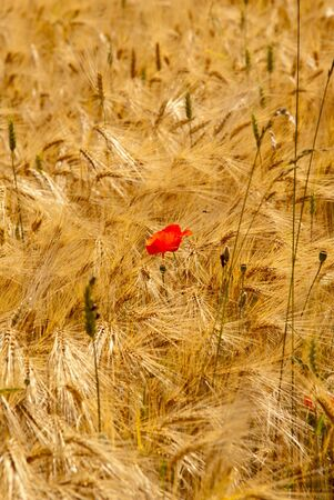 Red poppy in a yellow field Stock Photo - 11799452