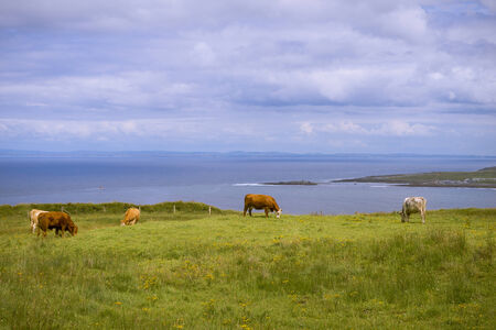 irish countryside: Irish countryside scenery with cattle by seaside