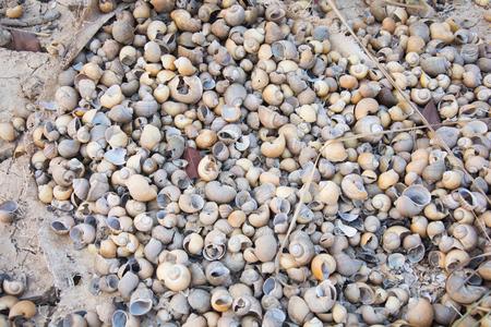 apple snail: carcass Golden Apple Snail Stock Photo