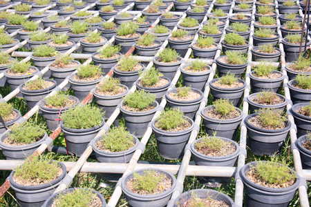 propagation: Transplanted seedlings in a nursery potted into flowerpots for retail Stock Photo