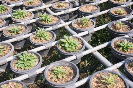 transplanted: Transplanted seedlings in a nursery potted into flowerpots for retail Stock Photo