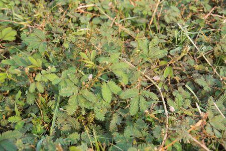 sensitive: Sensitive green plant Mimosa Pudica