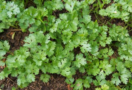 germinación: Perejil crece en el jardín