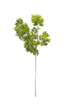 tapper: rubber tree isolated on white background