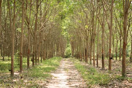 deepness: Row of para rubber tree