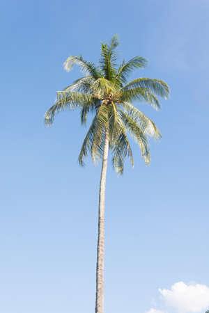 bluesky: coconut tree with bluesky background