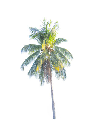 subtropical plants: Tree coconut palm  isolated on white background