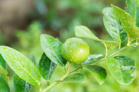 florida citrus: Fresh Lime tree with fruits Stock Photo