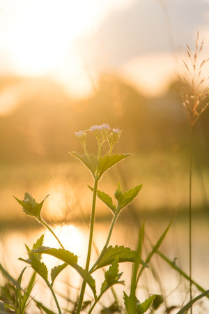 Mimosa pudica flower grass and sunset Stock Photo