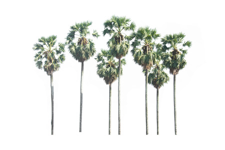 asian palmyra palm: Asian Palmyra palm, Toddy palm, Sugar palm, isolated on white background Stock Photo