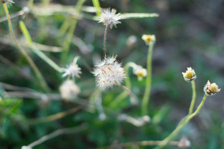 spring coat: Mexican daisy, Tridax daisy, Wild Daisy on blur background.