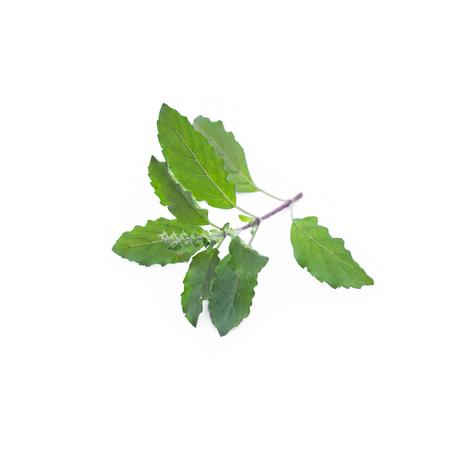 sanctum: Ocimum sanctum isolate on white