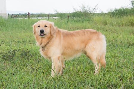 Golden retriever on the green grass Stock Photo