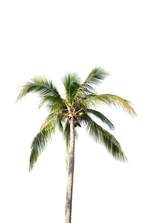 bark of palm tree: coconut trees isolated on white background