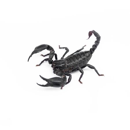 Scorpion isolated on white background Zdjęcie Seryjne