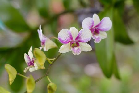 phal: Purple, pink branch orchid flowers, Orchidaceae, Phalaenopsis