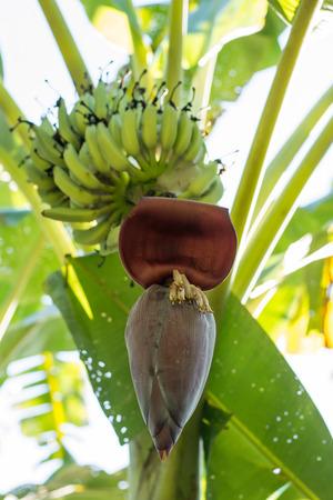 Banana Tree With Banana Blossom