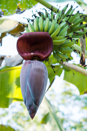 Banana Tree With Banana Blossom