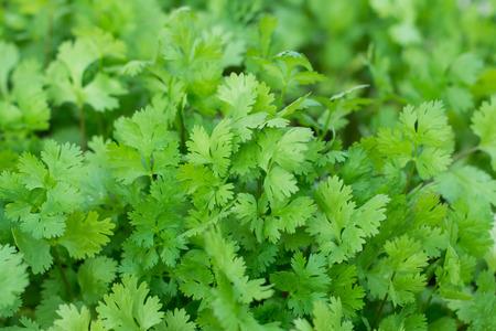 culantro: beneficios para la salud de cilantro. El cilantro es cargado con antioxidantes