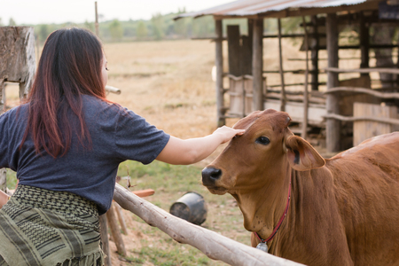 Young woman feeding cows with grass at cowhouse in farm Thai Standard-Bild