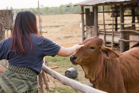 Young woman feeding cows with grass at cowhouse in farm Thai Stock Photo