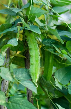 four chambers: Winged Bean (Princess bean or asparagus pea) on tree,Psophocarpus tetragonolobus