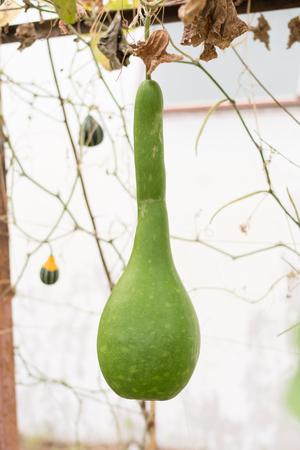 gourd: gourd, Calabash gourd, Flowered gourd, White flowered gourd, fruit and trees in the garden