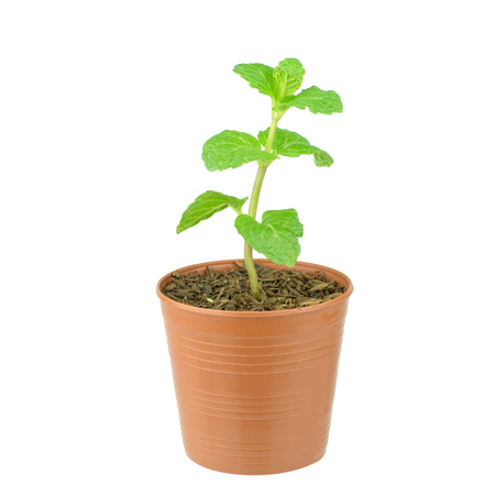 Fresh mint growing in a flowerpot to ensure the freshest ingredients in the kitchen for cooking and garnish