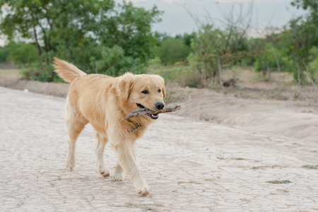 hungarian pointer: golden retriever playing outdoor with wooden stick