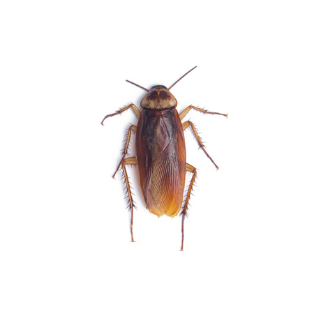 Cockroach isolated white background Stock Photo
