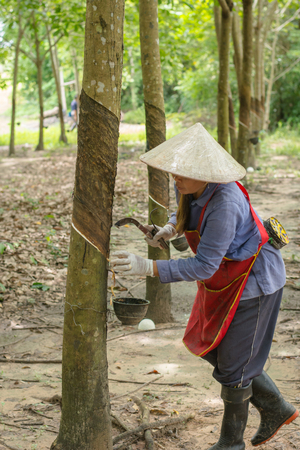 Asian women tapping on the rubber tree Stock Photo
