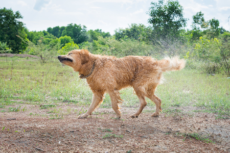 Golden Retriever dog shakes off water after a swim