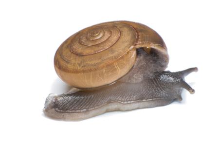 gastropod: Garden snail isolated on white background Stock Photo
