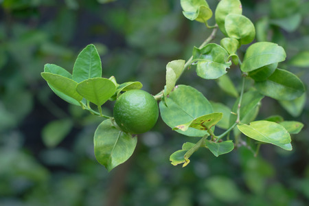 florida citrus: green lime on tree with fruits closeup