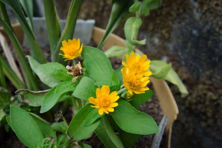 Close Up of Beautiful Little Yellow Star or Yellow button flowers (Scientific Name:Melampodium Divaricatum)