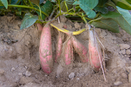 harvest sweet potato plant with tubers in soil dirt surface Stock Photo