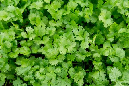 Fresh leaf green coriander in a garden. Vegetable coriander for health is used as a food ingredient in thailand Stock fotó - 94482661