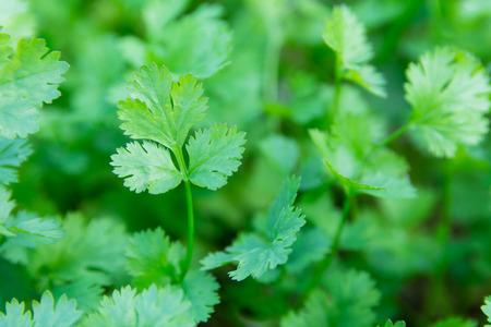 庭の新鮮な葉の緑のコリアンダー。健康のための野菜コリアンダーは、タイの食品成分として使用されています