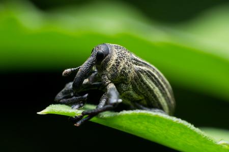 Boll weevil, Black weevil on leaf green background Фото со стока