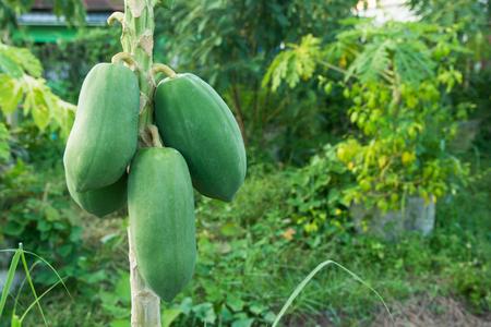 unripe green papaya hanging from a papaya tree. Papaya tree and bunch of fruits.