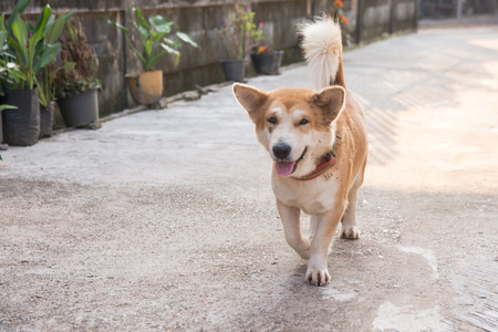 Cute short leg dog walking on concrete road